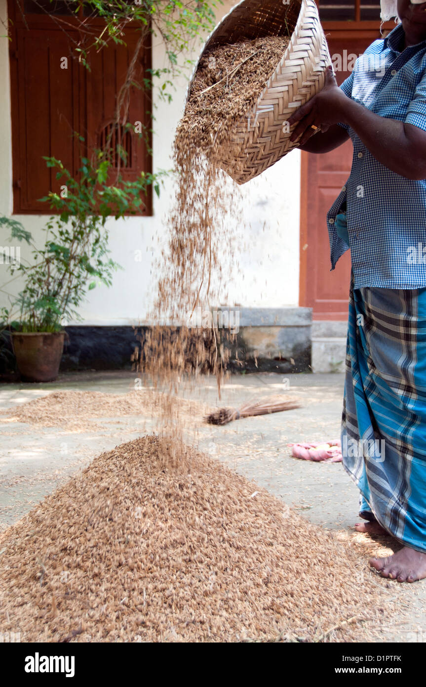 A woman separating the paddy from the dry material - Stock Image
