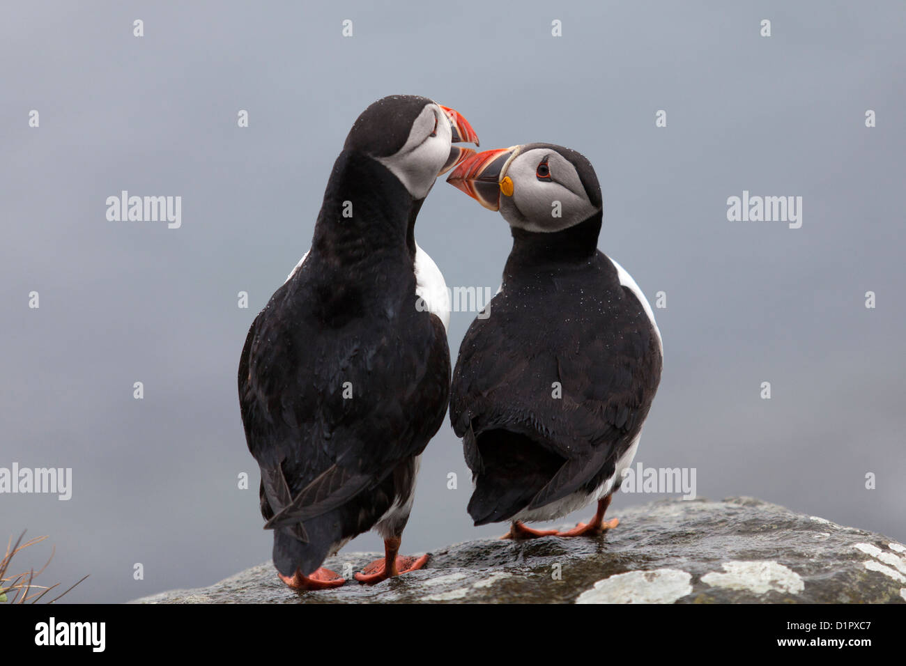 Puffins tapping beaks on the Isle of Lunga, Scotland - Stock Image