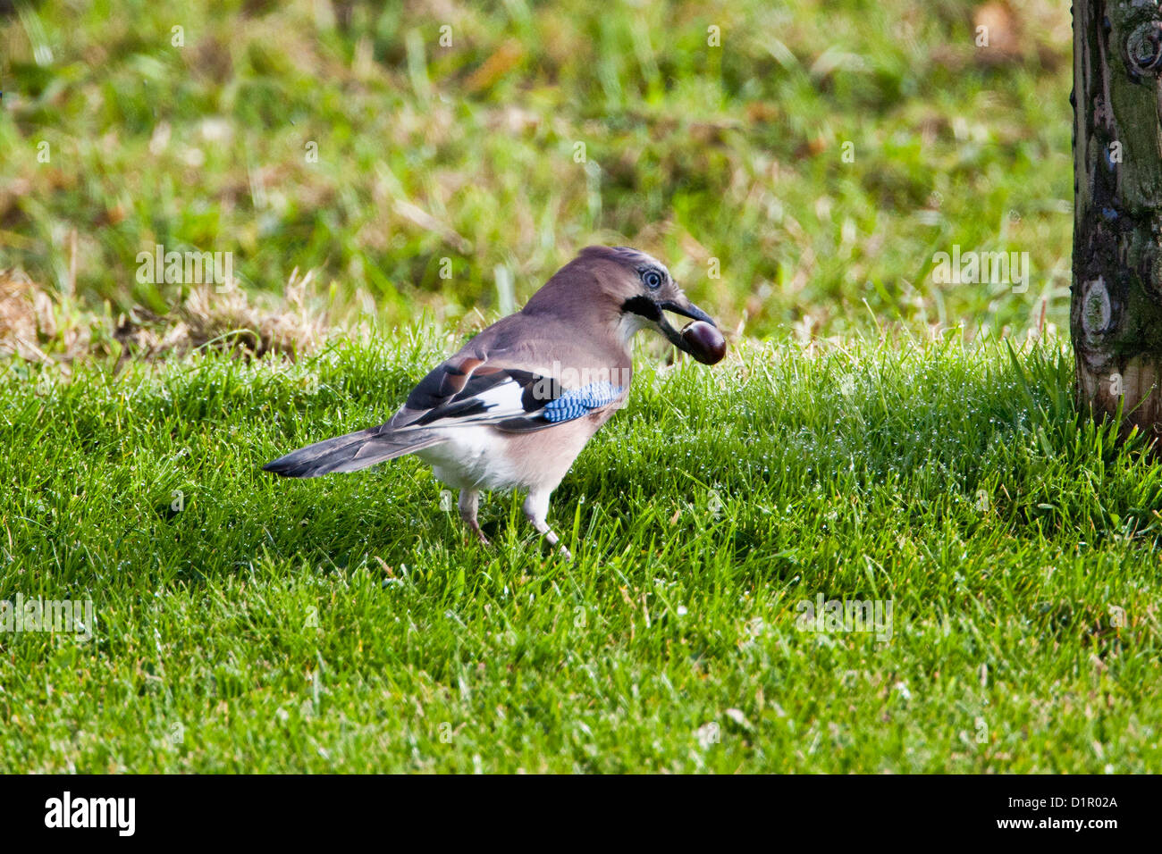 Eurasian Jay (Garrulus glandarius) burying a tame castagne in the ground as food stock for winter. - Stock Image