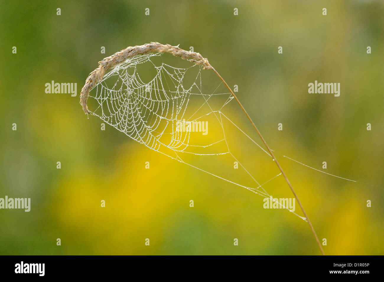 Dewy orb web constructed in stalk of grass, Ontario, Canada - Stock Image