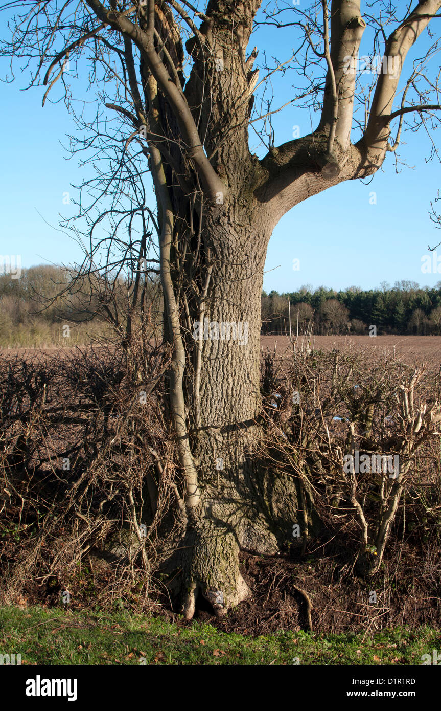 Ash tree, Fraxinus excelsior, in hedgerow in winter - Stock Image