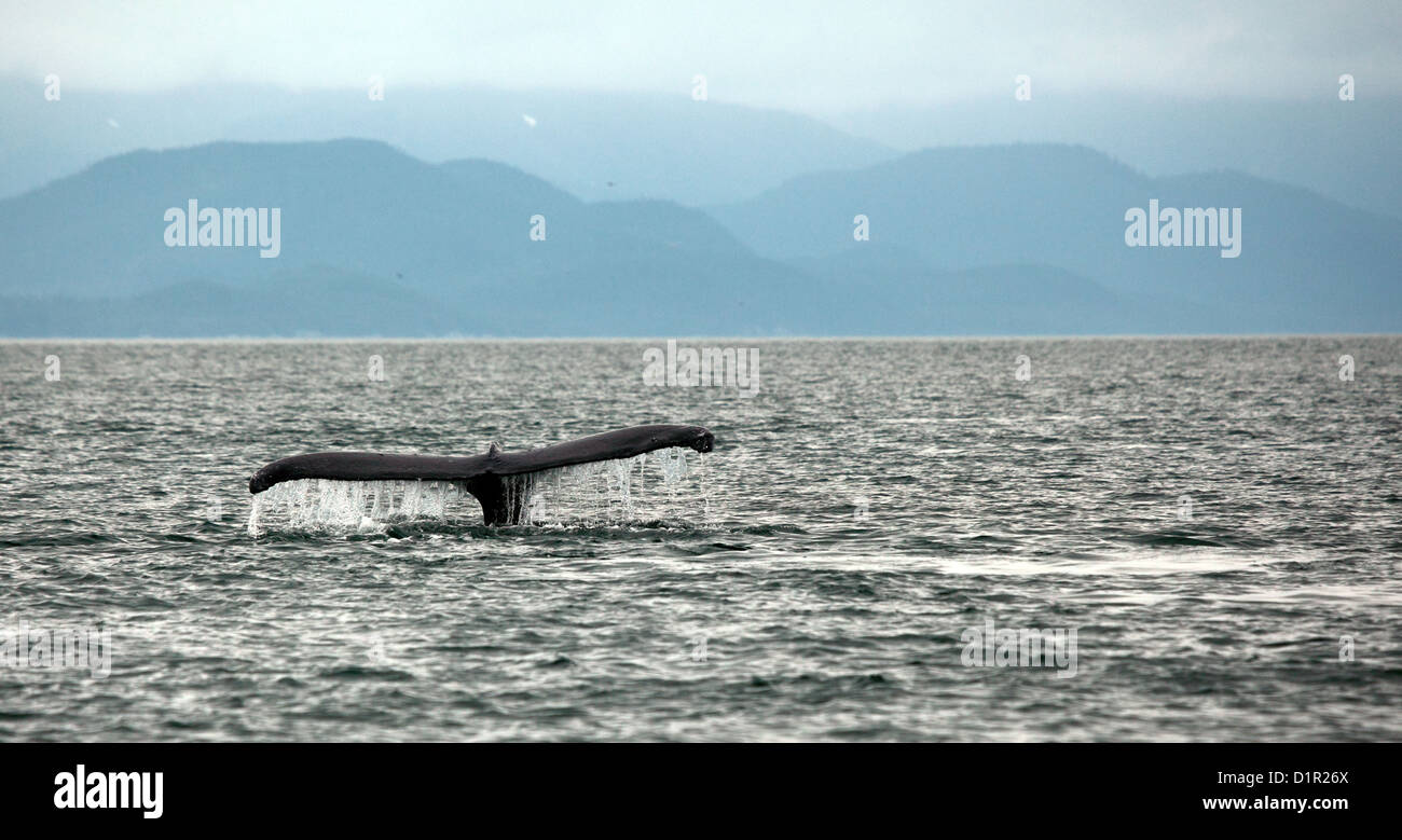 humpback whale diving in alaska with tail showing against mountains - Stock Image