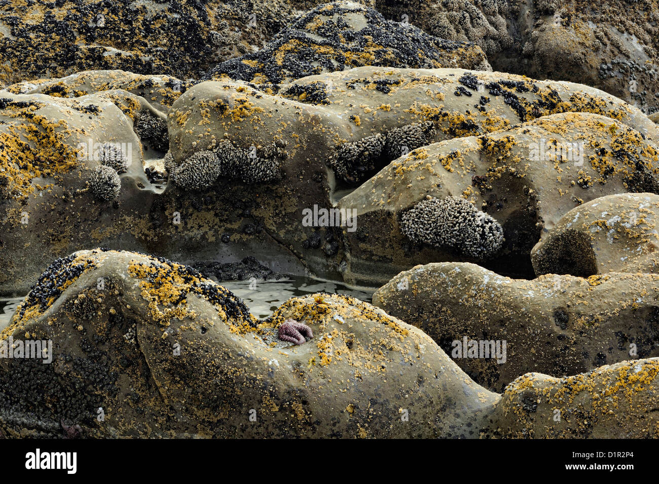 Barnacle colonies on Beach #4 rocks at low tide, Olympic National Park, Washington, USA - Stock Image