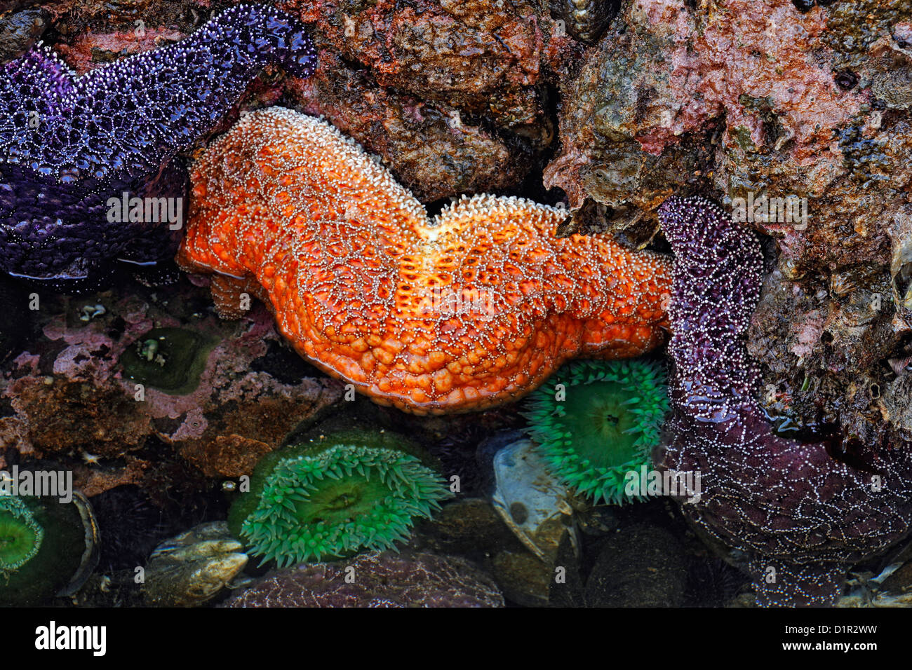 Ochre sea stars (Pisaster ochraceus) and Giant Green Anemone (Anthopleura xanthogrammica) at low tide, Salt Creek - Stock Image