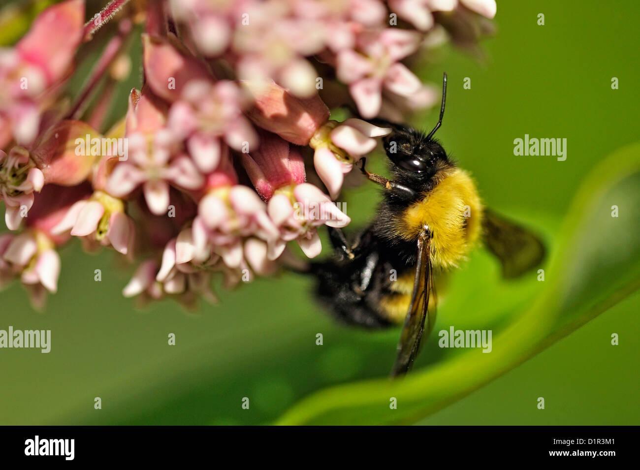 Bumblebeee (Bombus sp.) nectaring on common milkweed (Asclepias syriaca), Greater Sudbury , Ontario, Canada - Stock Image