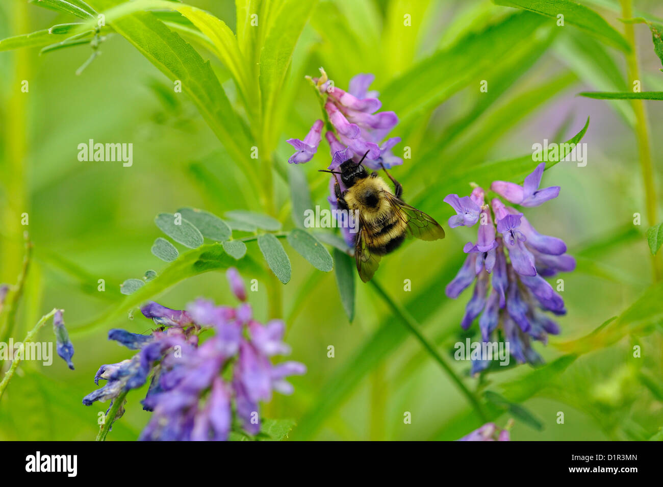 Bumblebeee (Bombus sp.) nectaring on wild vetch (Vicia spp.), Greater Sudbury , Ontario, Canada - Stock Image