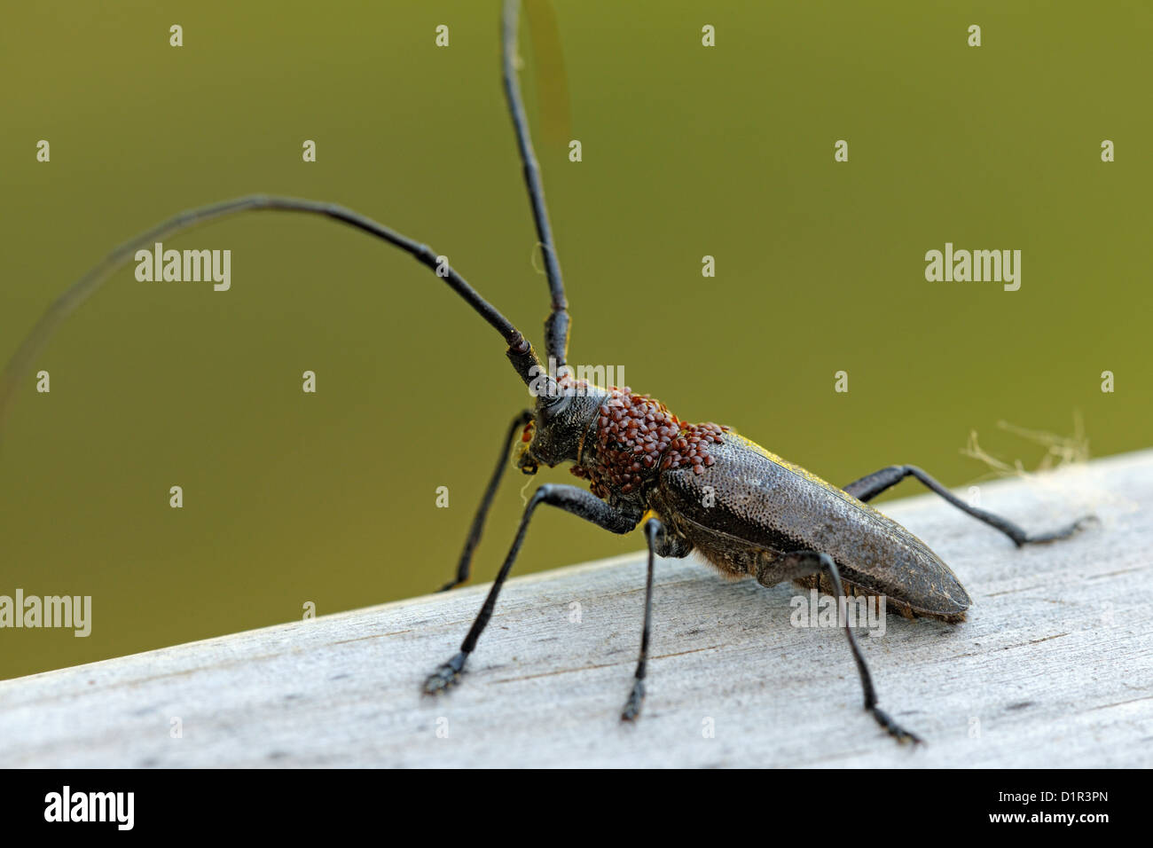 Long-horn beetle, Pine Sawyer (Monochamus sp) with foretic mites on thorax, Greater Sudbury , Ontario, Canada - Stock Image