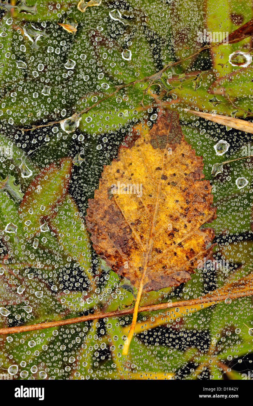 Grass spider's web with raindrops, Greater Sudbury , Ontario, Canada - Stock Image