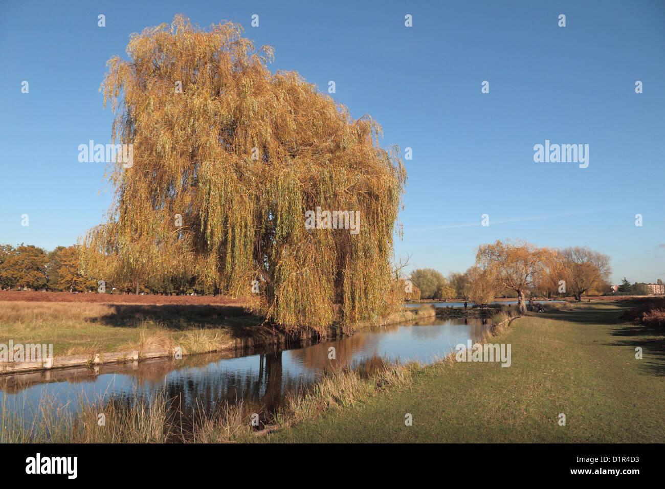 A weeping Willow (Salix babylonica) tree near Leg-of-Mutton Pond in Bushy Park, near Kingston, UK.  November 2012 - Stock Image