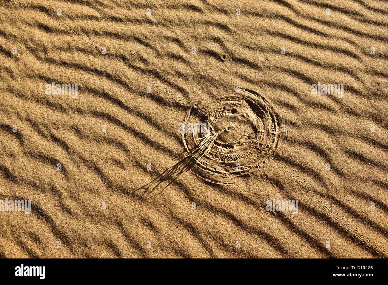Morocco, M'Hamid, Erg Chigaga sand dunes. Sahara desert. Detail ripple-marks. Little bush making marks in sand - Stock Image