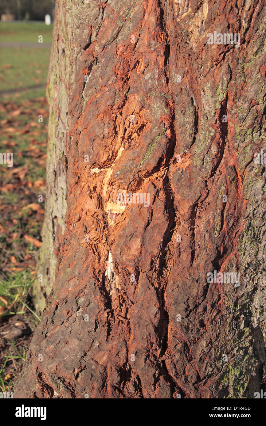 Damage to a horse chestnut tree done by the antlers of deer in Bushy Park, near Kingston, UK. Stock Photo