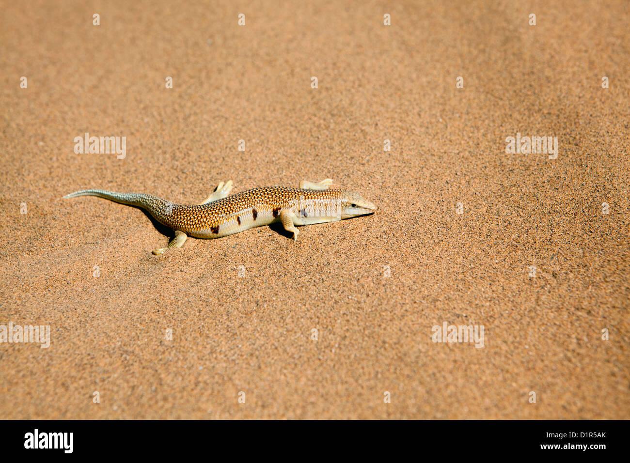 Sandfish Stock Photos Sandfish Stock Images Alamy