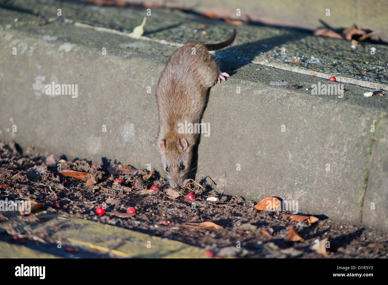 BROWN RAT, Rattus norvegicus FEEDING. UK - Stock Image