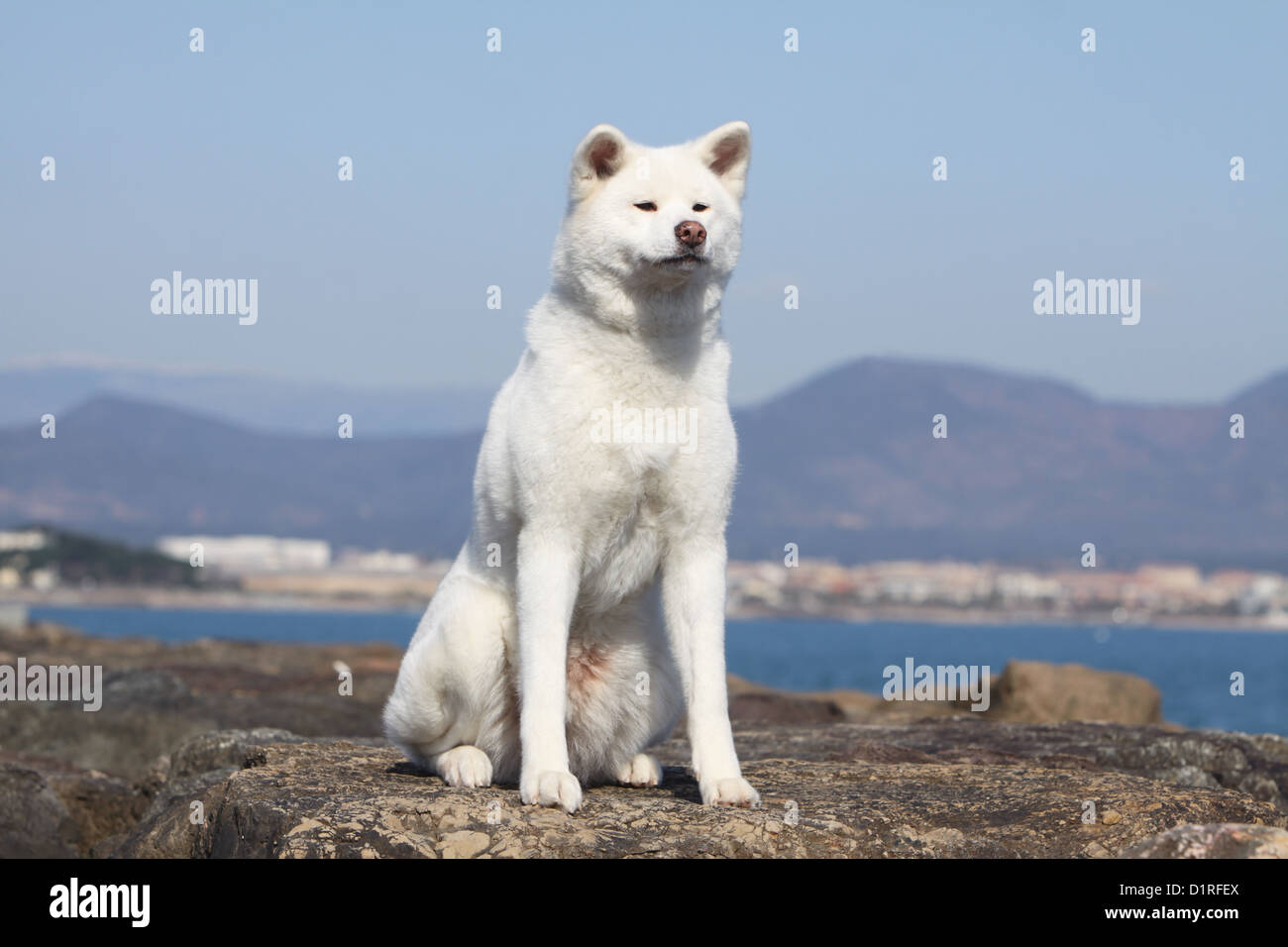 Japanese Akita Adult High Resolution Stock Photography And Images Alamy