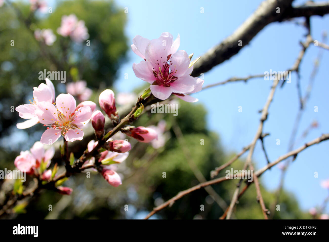 Cherry blossom flowers at century park shanghai china in spring cherry blossom flowers at century park shanghai china in spring mightylinksfo