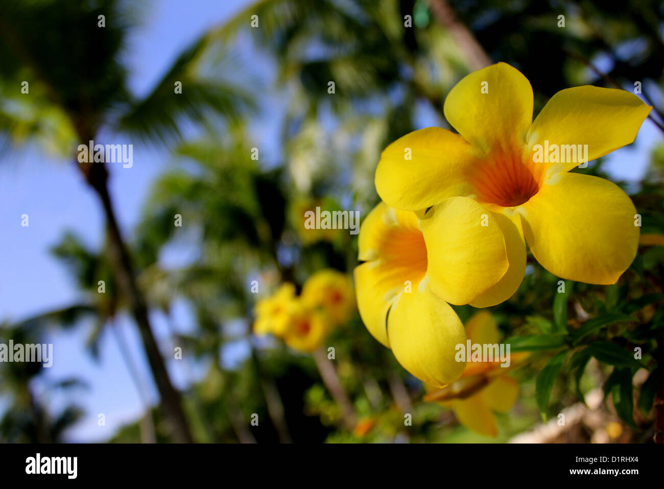 Tropical yellow flowers and palm trees with a blue sky background in tropical yellow flowers and palm trees with a blue sky background in cebu philippines mightylinksfo
