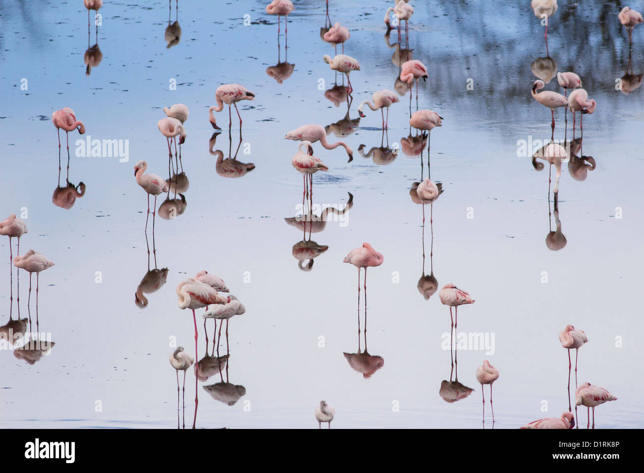 Flamingo in Arusha National Park. Safari in Tanzania Africa - Stock Image