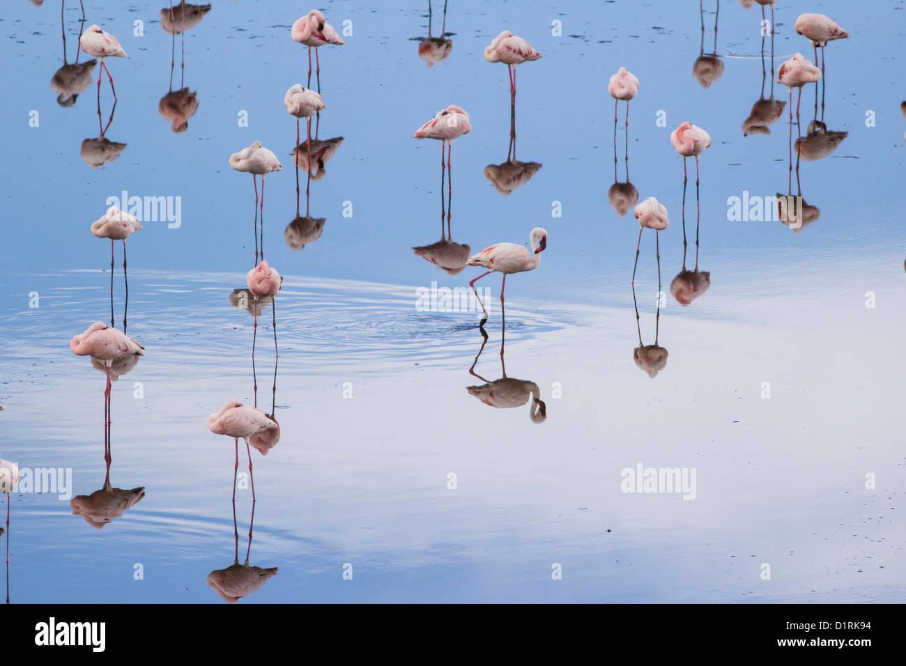 Flamingo in Arusha National Park. Safari in Tanzania Africa - Stock Image