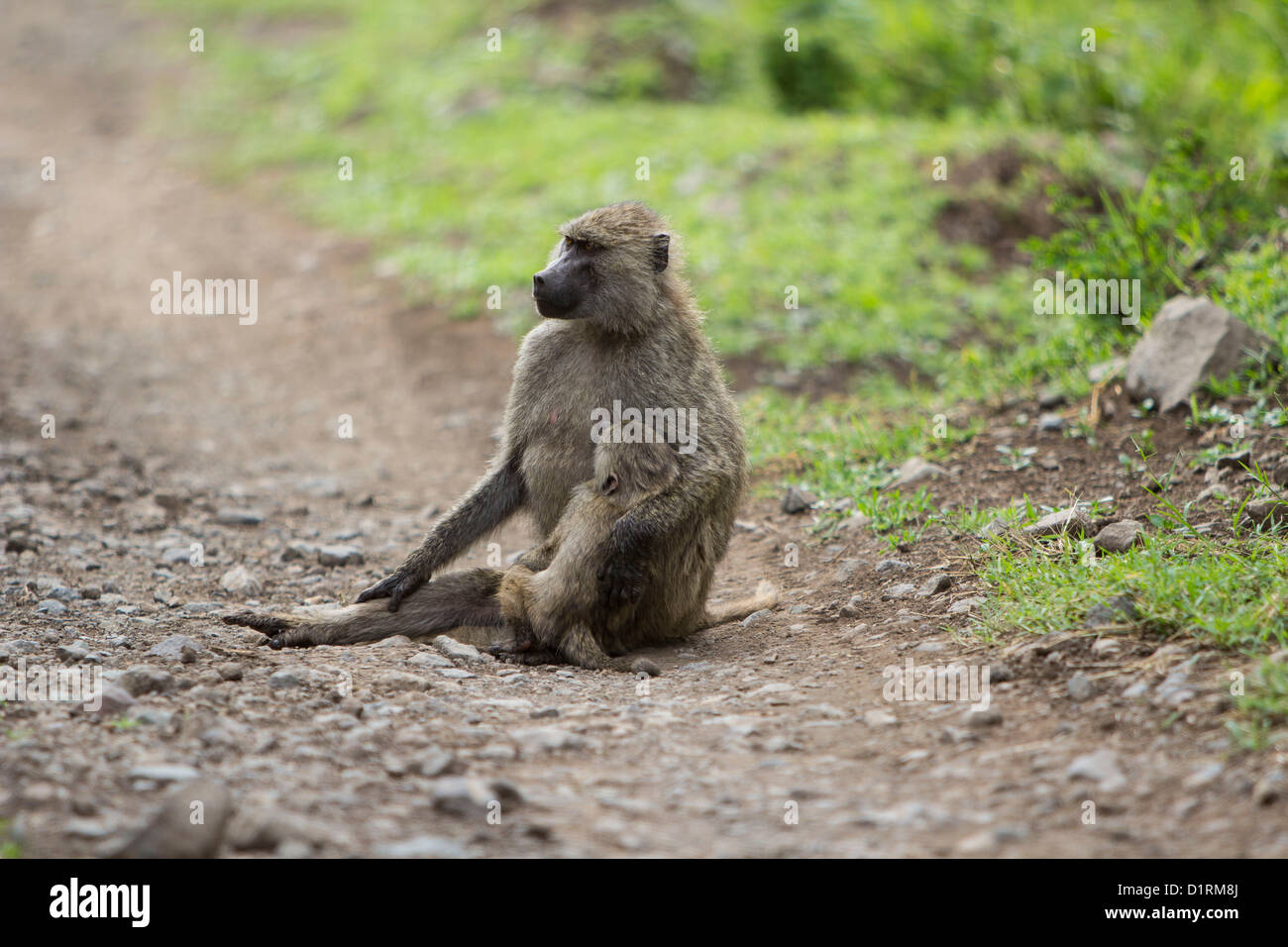 Baboons in Arusha National Park Tanzania Africa - Stock Image