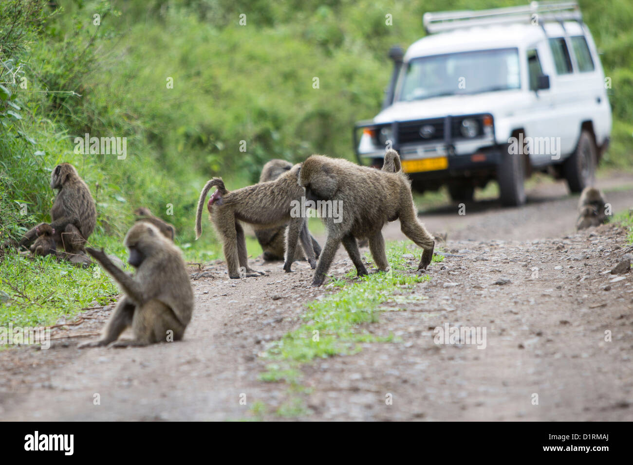 Baboons and safari vehicle in Arusha National Park Tanzania Africa - Stock Image