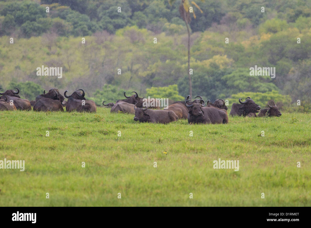 Buffalo, Arusha National Park, Tanzania, East Africa - Stock Image