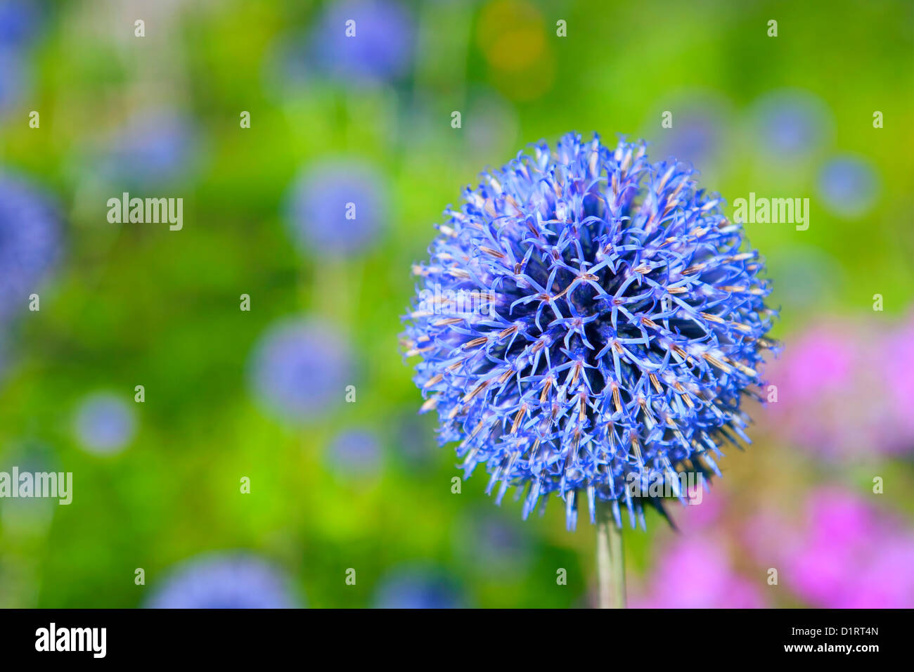 Flowering globe thistle in the summer garden. Selective focus. - Stock Image