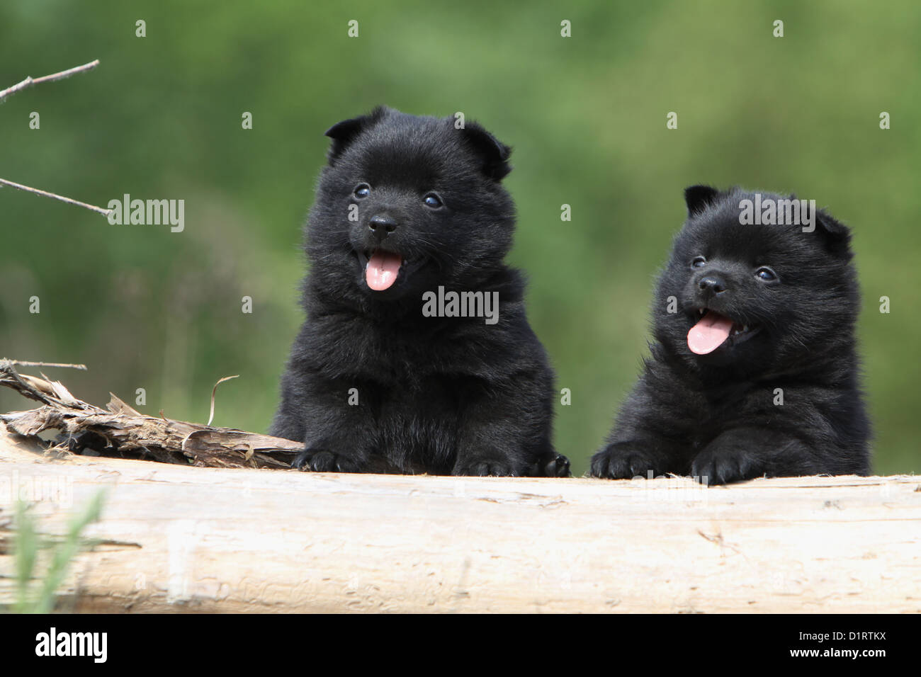 Dog Schipperke two puppies sitting on a wood - Stock Image