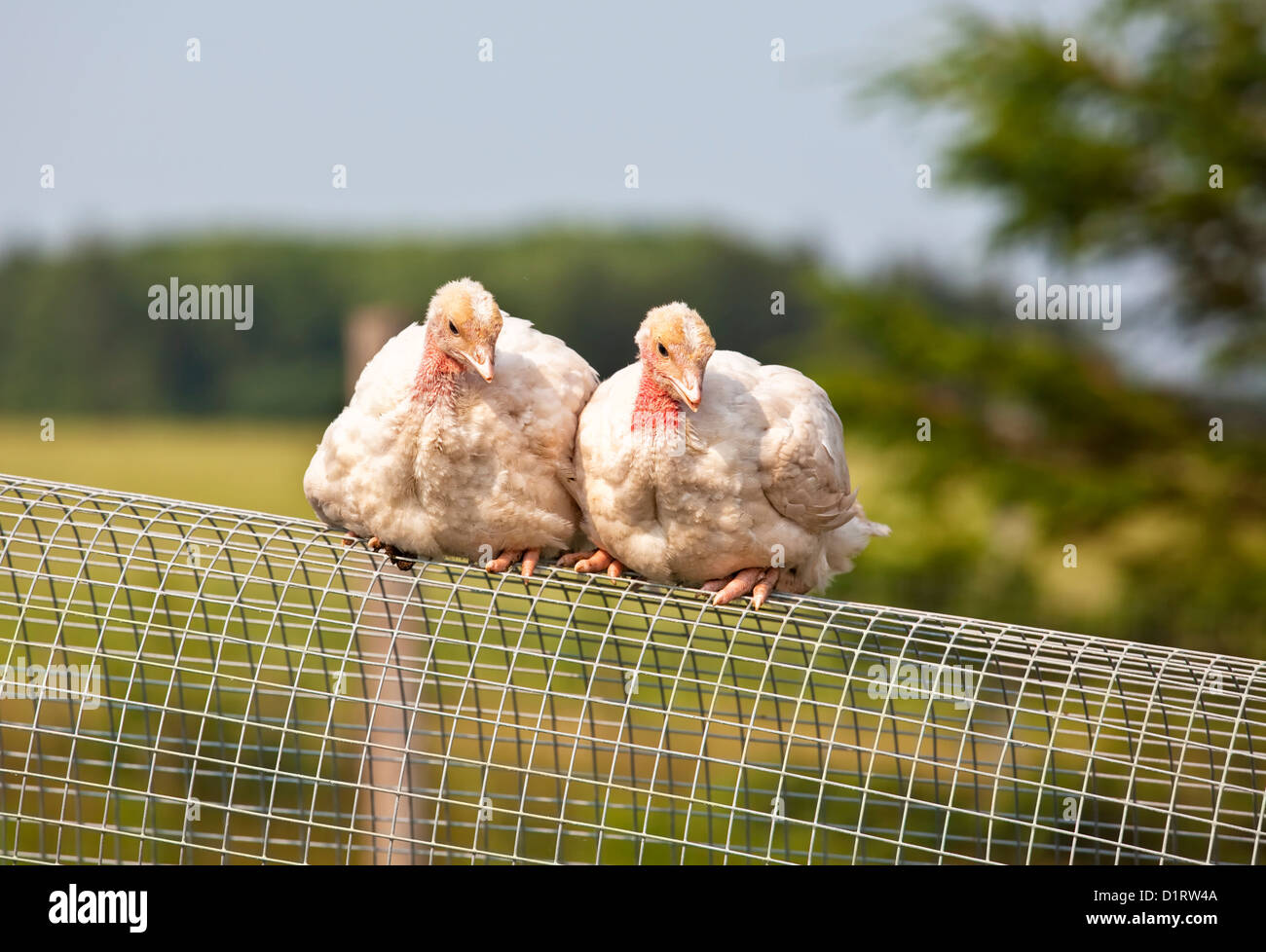 Two free range half grown turkey chicks on an organic farm. - Stock Image