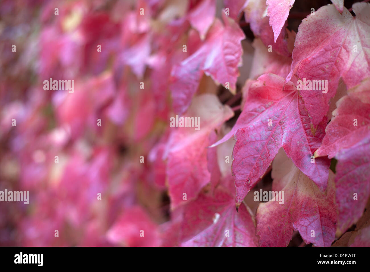 Red Virginia creeper leaves - Stock Image