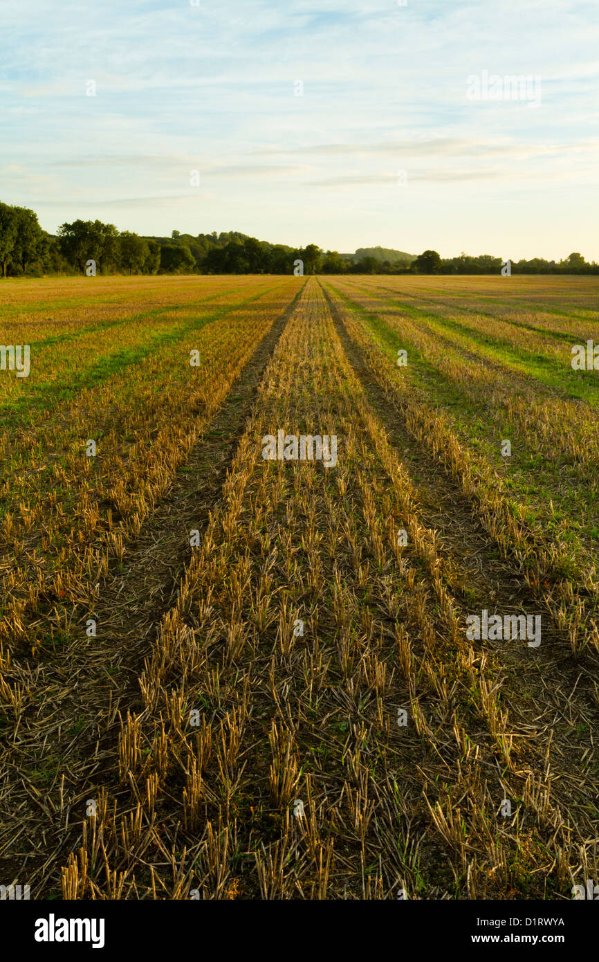 Harvested field. Wheat stubble on farmland after the harvest and showing new growth, Nottinghamshire, England, UK Stock Photo