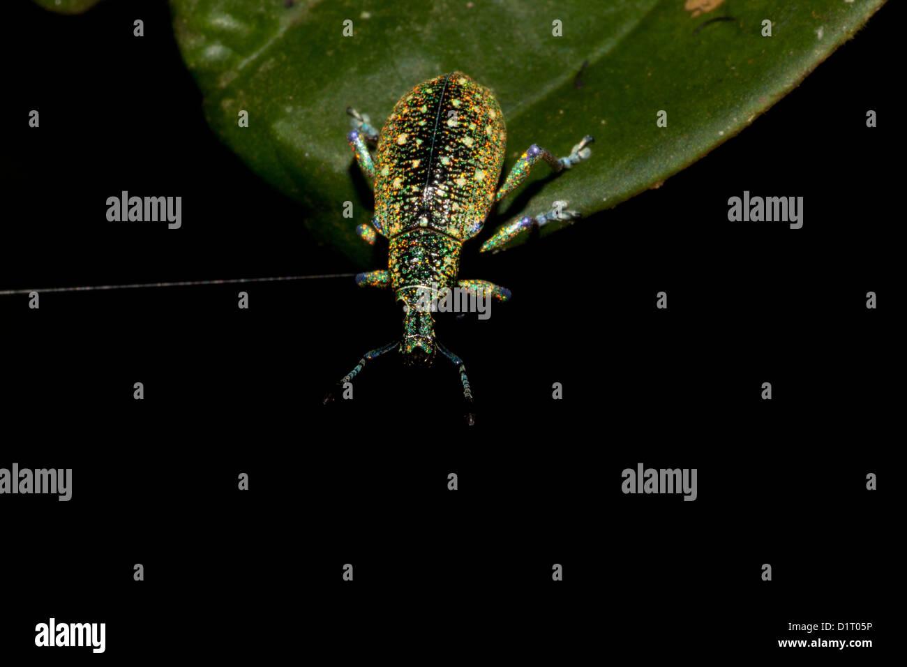 Weevil beetle in the rainforest at Burbayar, near Llano Carti, altitude 300 m, Panama province, Republic of Panama. - Stock Image