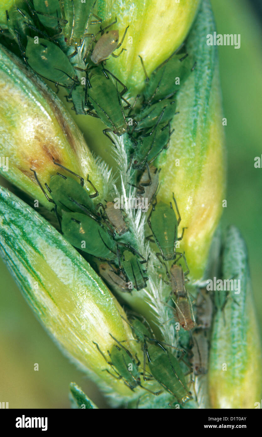 Grain aphids, Sitobion avenae, between the grains of and ear of wheat - Stock Image
