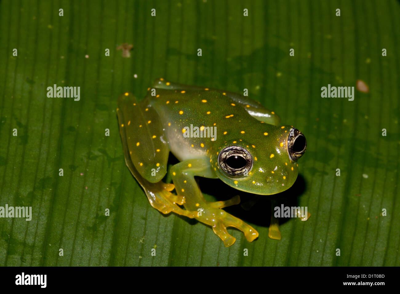 White-spotted cochran frog, (Yellow-flecked glass frog), sci.name; Cochranella albomaculata, at Burbayar, Panama. - Stock Image