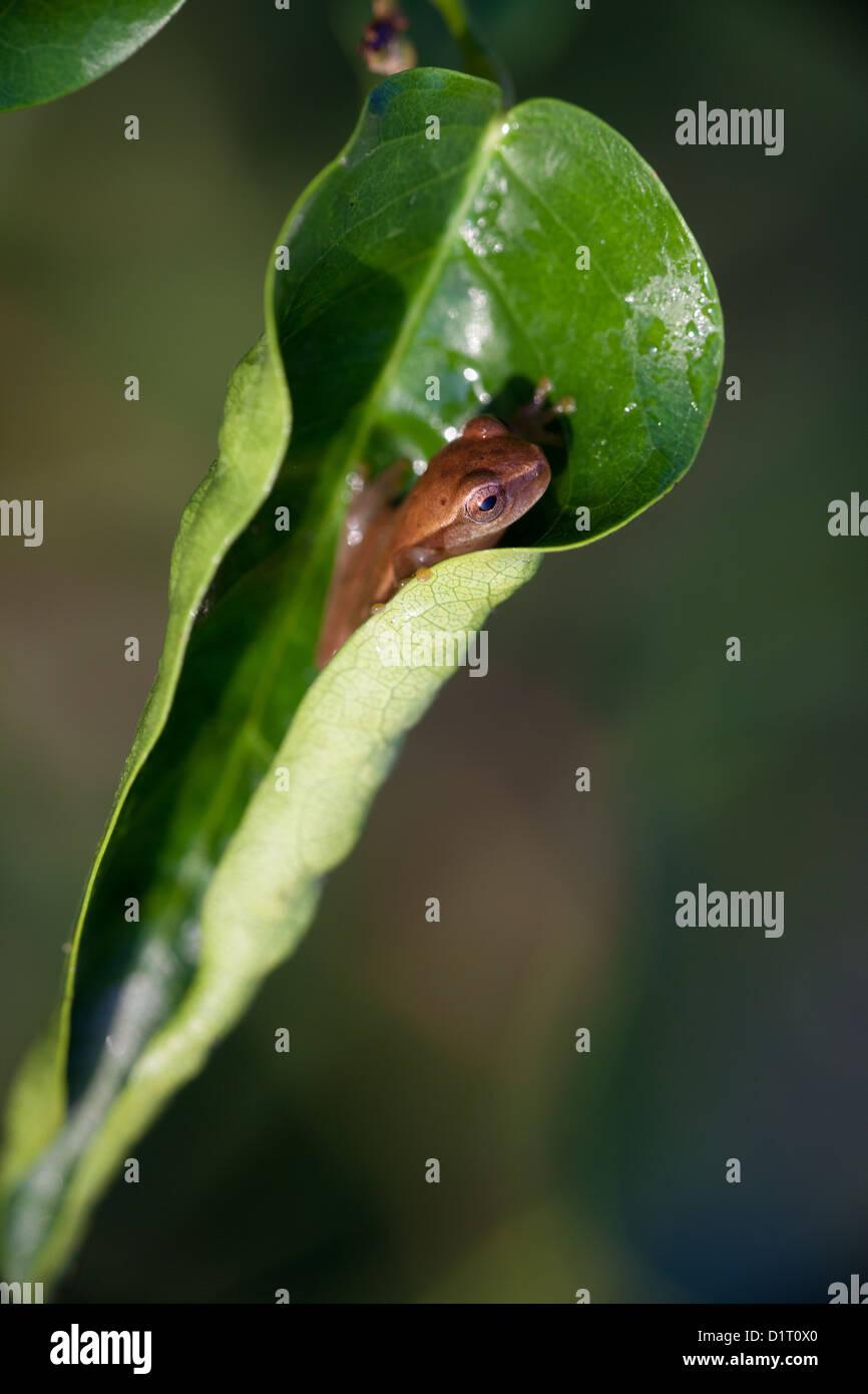 Frog inside a leaf at Cienaga las Macanas wetlands, Herrera province, Republic of Panama. Stock Photo