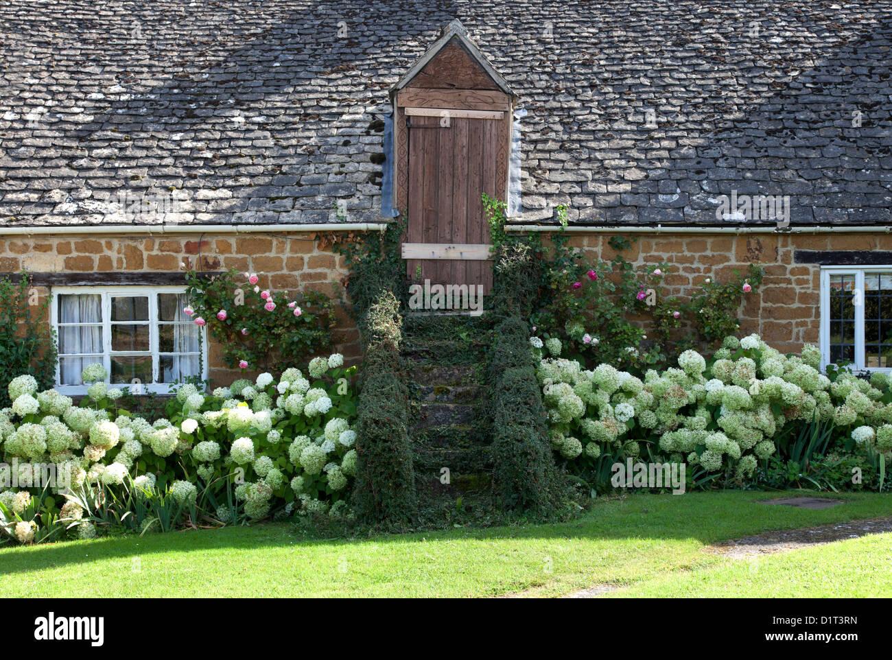 Cotswold barn conversion with white Hydrangea border - Stock Image
