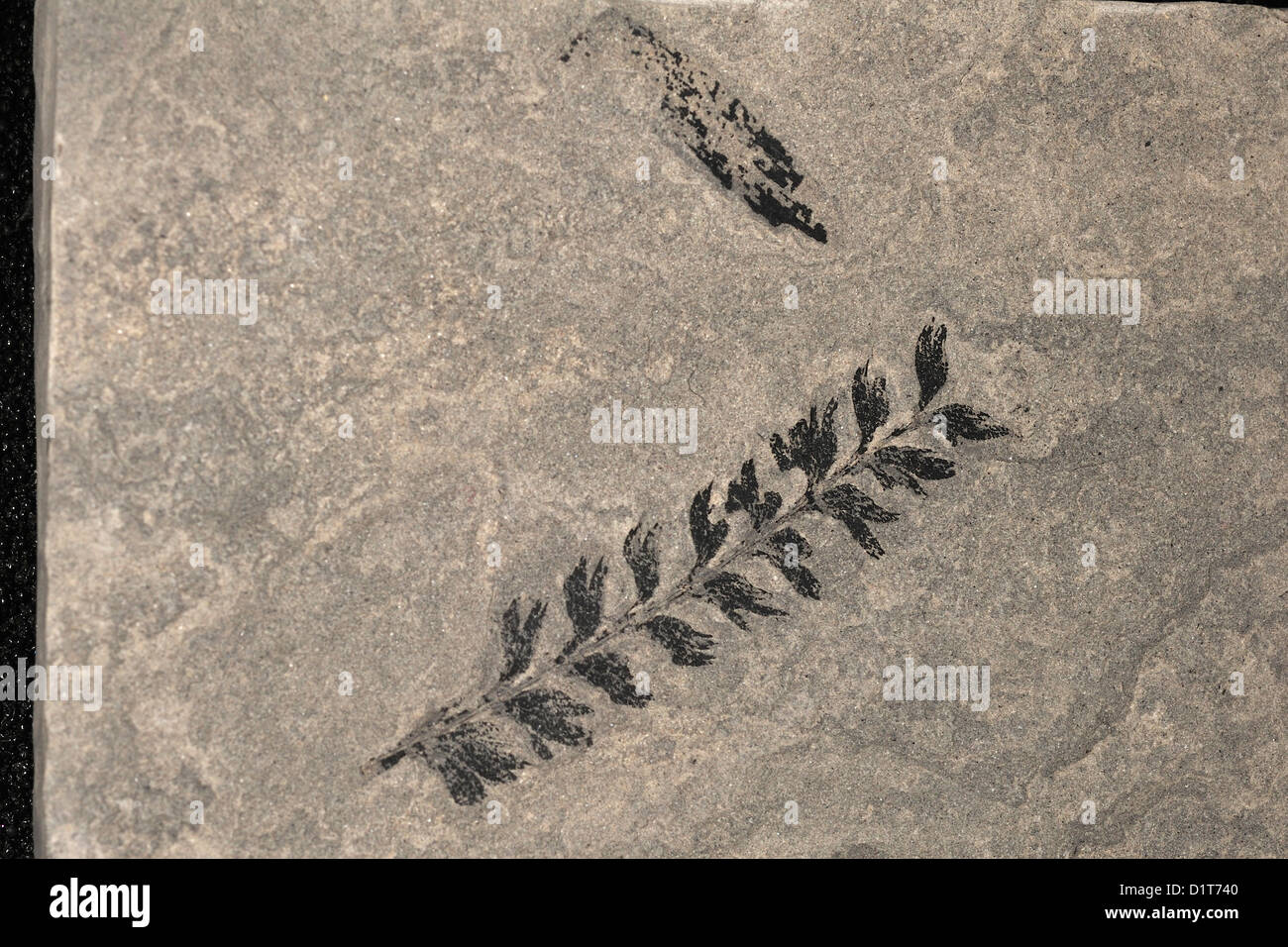 Fossil fern, Sphenophyllum longifolium, Plantae; Tracheophyta; Equisetales; Calamitaceae; Usa - Stock Image