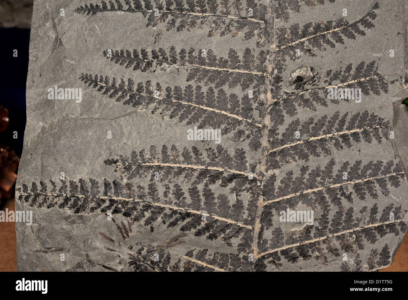 Fossil fern, Schizostachys pinnata, Plantae; Tracheophyta; Equisetales; Calamitaceae; Usa - Stock Image