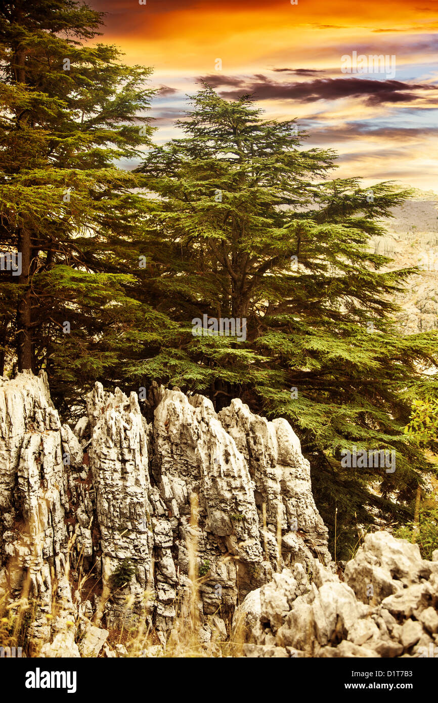 Image of cedars forest of Lebanon, coniferous woods on the rocks, dramatic red sunset, big green pine trees in the Stock Photo