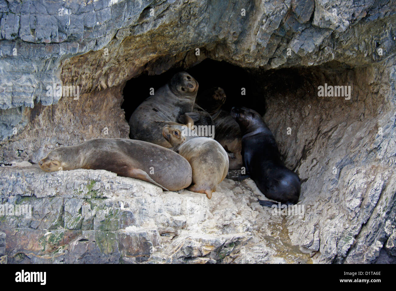 South American (Patagonian, southern) sea lions resting in cave, Seno Ultima Esperanza (Last Hope Sound), Patagonia, - Stock Image