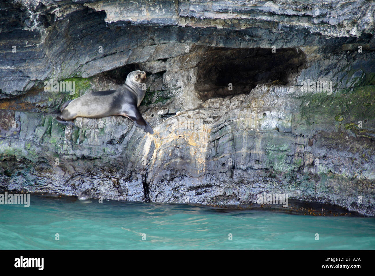 South American (Patagonian, southern) sea lion resting by cave, Seno Ultima Esperanza (Last Hope Sound), Patagonia, - Stock Image