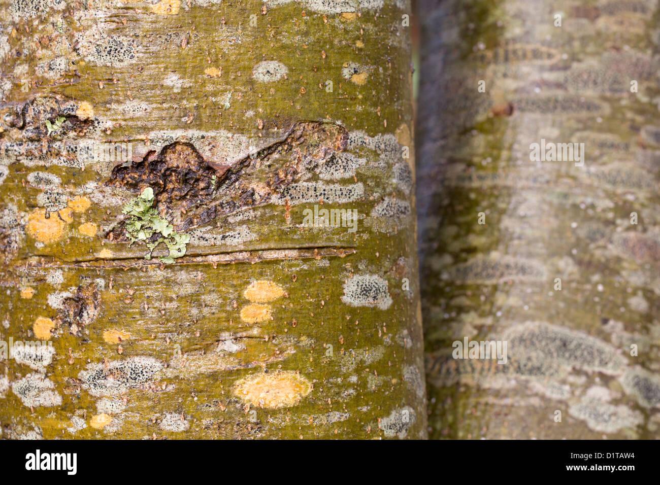 Ash Tree Bark; Fraxinus excelsior; UK - Stock Image