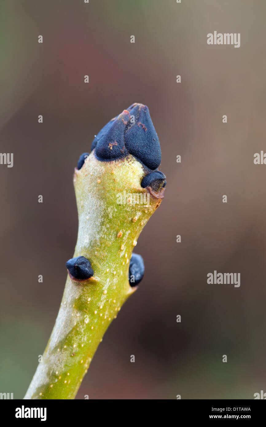 Ash Tree Bud; Fraxinus excelsior; UK - Stock Image