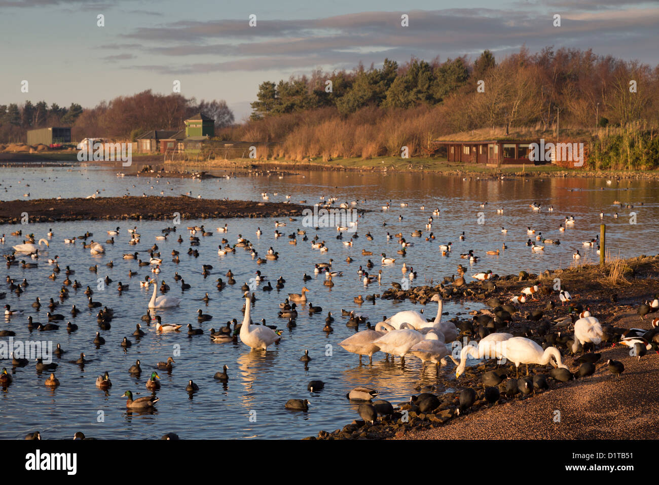 Martin Mere; Wildfowl and Wetlands Trust; UK - Stock Image