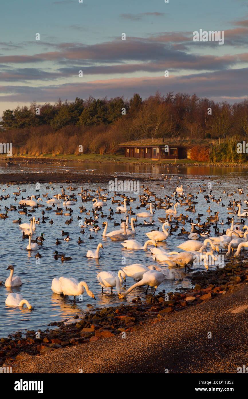 Martin Mere; Wildfowl and Wetlands Trust; UK Stock Photo