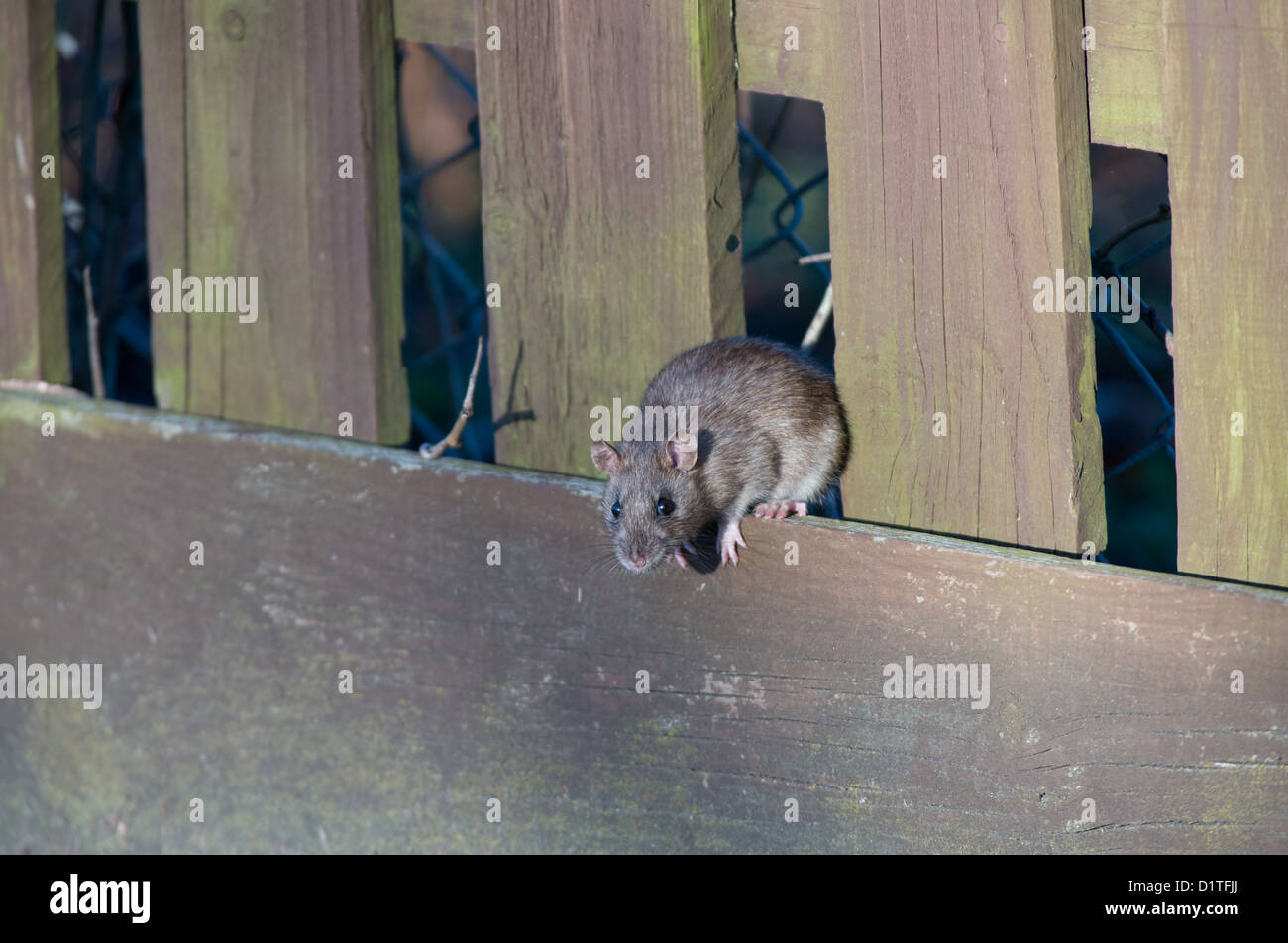 BROWN RAT, Rattus norvegicus. UK - Stock Image