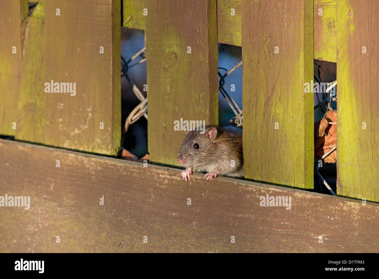 BROWN RAT, Rattus norvegicus. - Stock Image