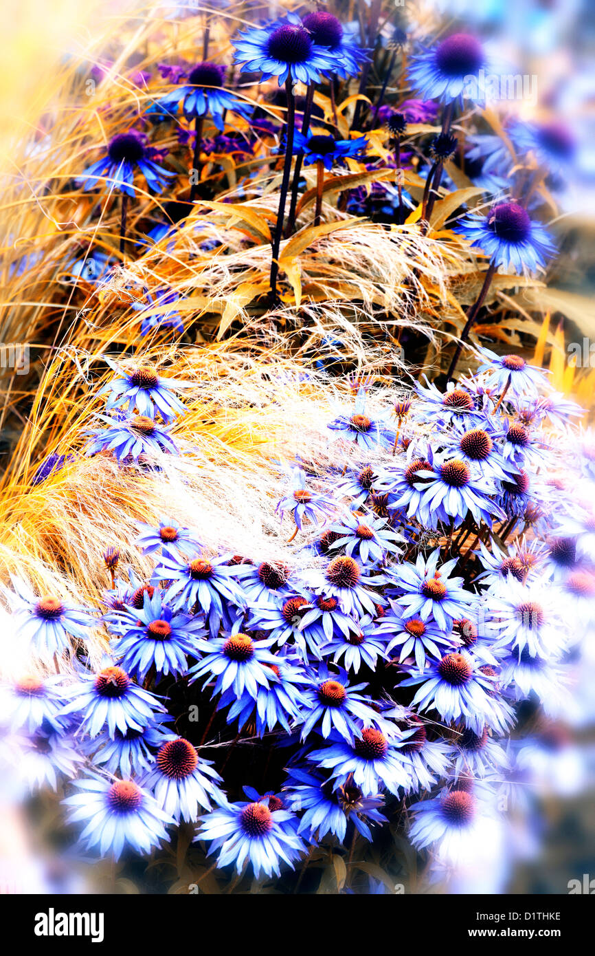 Purple cone flower  mixed with ornamental grasses in a herbaceous border - Stock Image