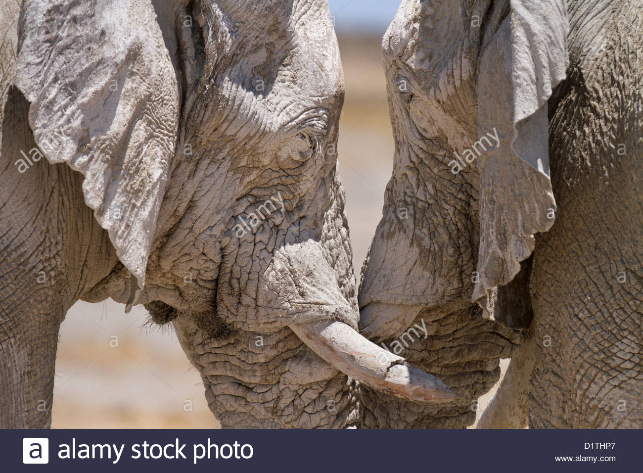 Elephants in Etosha National Park, Namibia Non-exclusive usage has been agreed for an on-line magazine (Aug 2014) - Stock Image