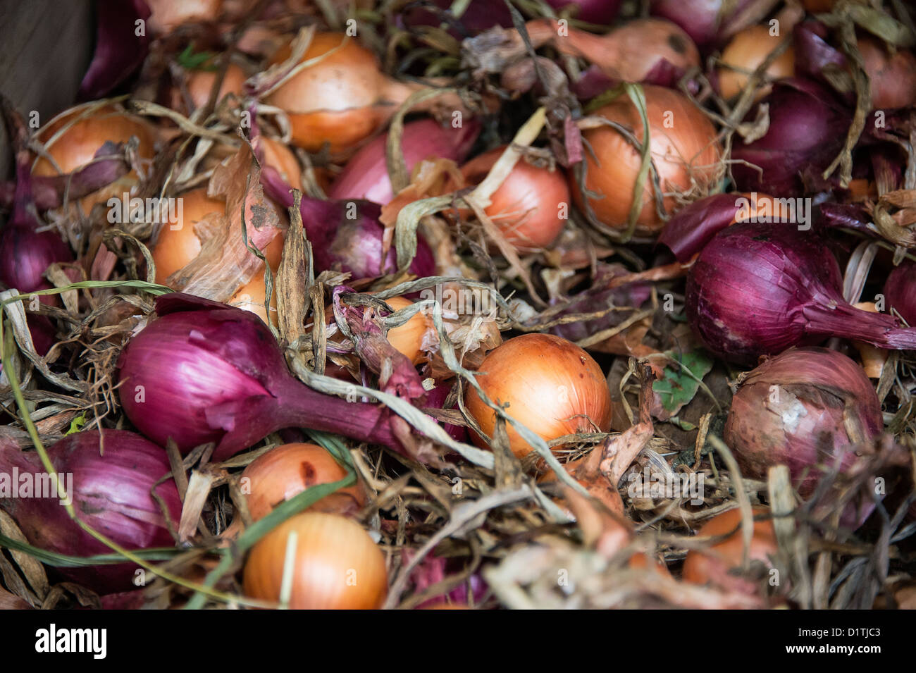 Freshly harvested onions, Allium cepa - Stock Image
