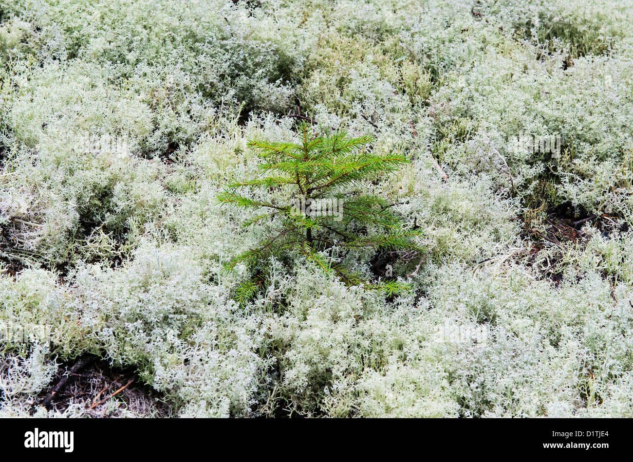 Evergreen spruce seedling, Mt desert Island, Maine - Stock Image